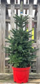 Kontejnerovaný stromek, Jedle Fraserova, Abies fraserii, vysoká 80-100cm