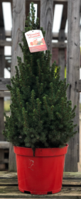 Kontejnerovaný stromek, Smrk conica, Picea glauca Conica, vysoký 40-60cm