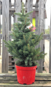 Kontejnerovaný stromek, Smrk pichlavý, Picea pungens, vysoký 40-60cm