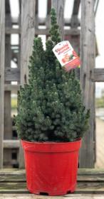 Kontejnerovaný stromek, Smrk Sanders Blue, Picea glauca Sanders Blue, vysoký 60-80cm