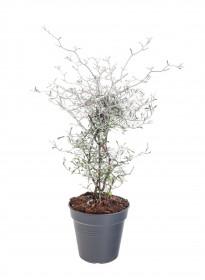 Korokie skalníková, Corokia cotoneaster, průměr květináče 10 cm