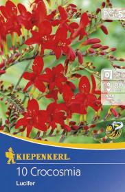 Křešina cibule, Crocosmia Lucifer, červená, balená, 10 ks