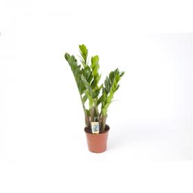 Kulkas zamiolistý, Zamioculcas zamiifolia, průměr květináče 13-15 cm