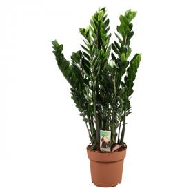 Kulkas zamiolistý, Zamioculcas zamiifolia, průměr květináče 21 cm