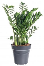 Kulkas zamiolistý, Zamioculcas zamiifolia, průměr květináče 24 cm