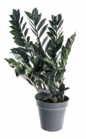Kulkas zamiolistý, Zamioculcas zamiifolia Super Nova, průměr květináče 17 cm