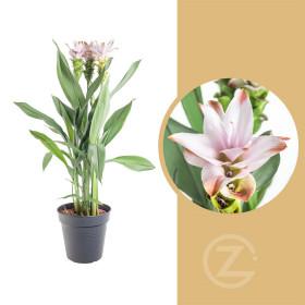 Kurkuma, Curcuma Siam, světle růžová, průměr květináče 17 cm