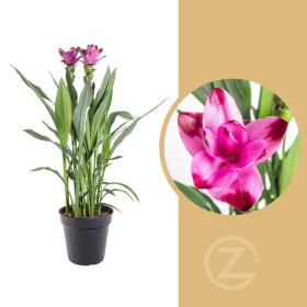 Kurkuma, Curcuma Siam, tmavě růžová, průměr květináče 17 cm