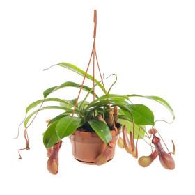 Láčkovka, Nepenthes alata, průměr květináče 14 cm