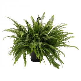 Ledviník, Nephrolepis exaltata, závěs, průměr květináče 24 cm