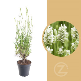 Levandule lekařská, Lavandula angustifolia Alba, bílá, průměr květináče 13 cm