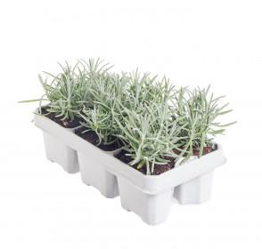 Levandule lekařská, Lavandula angustifolia, balení 6 ks