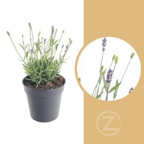 Levandule lekařská, Lavandula angustifolia Hidcote, průměr květináče 13 - 14 cm