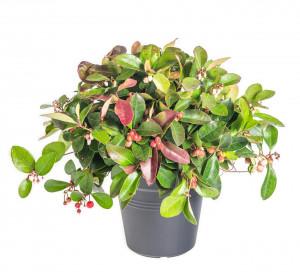 Libavka polehlá, Gaultheria procumbens Big Berry, průměr květináče 13 cm