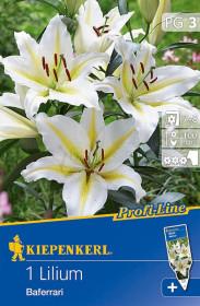 Lilie cibule, Lilium Baferrari, bílo - žlutá, balená, 1 ks