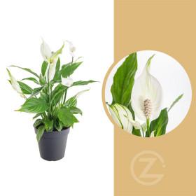 Lopatkovec, Spathiphyllum, průměr květináče 10 - 12 cm