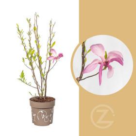 Magnolia, Šácholan Three Sisters, vícebarevná, velikost kontejneru 6 l