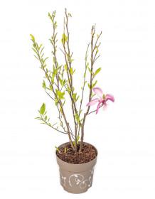 Magnolia, Šácholan Three Sisters