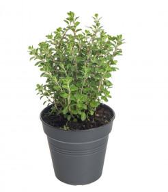 Majoránka zahradní, Origanum majorana, v květináči