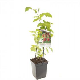 Maliník jednouplodící, Rubus idaeus Glen Ample, velikost kontejneru 5 l
