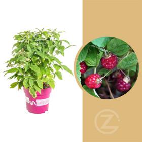 Maliník stáleplodící, Rubus idaeus Luckyberry, velikost kontejneru 4.6 l