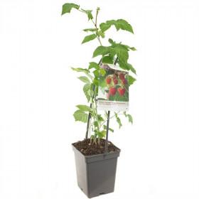 Maliník stáleplodící, Rubus idaeus Malling Promise, velikost kontejneru 5 l