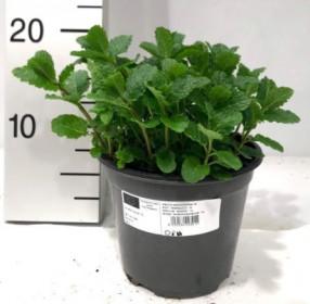 Máta klasnatá, Mentha spicata, v květináči