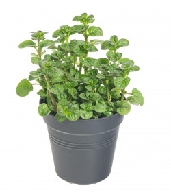 Máta Rotundifolia, Mentha Rotundifolia, v květináči