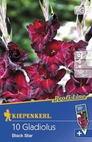 Mečík cibule, Gladiolus Black Star, vínový, balený, 10 ks