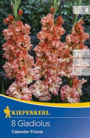 Mečík cibule, Gladiolus Calendar Frizzle, korálovo - žlutý, balený, 8 ks