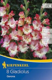 Mečík cibule, Gladiolus Gerona, růžovo - smetanový, balený, 8 ks