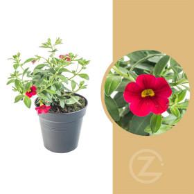 Minipetúnie, Million Bells, červená, průměr květináče 10 - 12 cm
