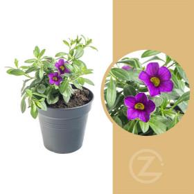 Minipetúnie, Million Bells, fialová, průměr květináče 10 - 12 cm