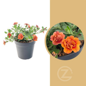 Minipetúnie, Million Bells, oranžová, průměr květináče 10 - 12 cm