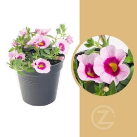 Minipetúnie, Million Bells, světle růžová, průměr květináče 10 - 12 cm