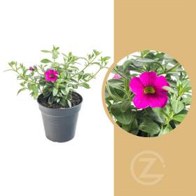 Minipetúnie, Million Bells, tmavě růžová, průměr květináče 10 - 12 cm