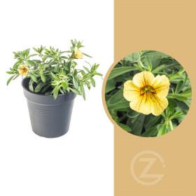 Minipetúnie, Million Bells, žlutá, průměr květináče 10 - 12 cm