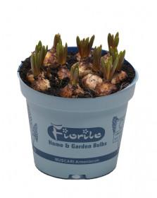 Modřenec, Muscari, modrý, rychlený, květináč 10.5 cm