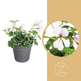 Muškát převislý jednoduchý, Pelargonium peltatum, bílý, průměr květináče 10 - 12 cm