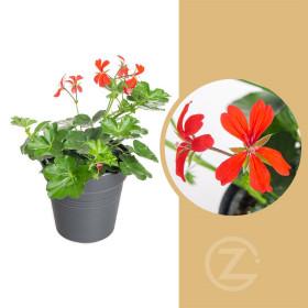 Muškát převislý jednoduchý, Pelargonium peltatum, červený, průměr květináče 10 - 12 cm