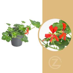 Muškát převislý jednoduchý, Pelargonium peltatum, červený, průměr květináče 9 cm