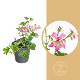Muškát převislý jednoduchý, Pelargonium peltatum, fialový, průměr květináče 10 - 12 cm