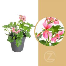 Muškát převislý jednoduchý, Pelargonium peltatum, růžový, průměr květináče 10 - 12 cm