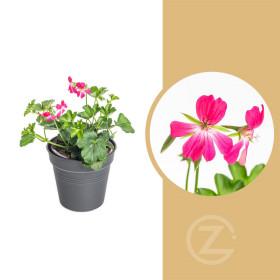 Muškát převislý jednoduchý, Pelargonium peltatum, růžový, průměr květináče 9 cm