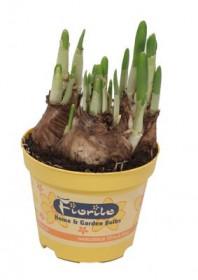 Narcis Tete-a-Tete, žlutý, rychlený, květináč 9 cm