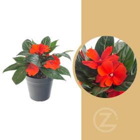 Netýkavka balzamína, Impatiens New Guinea, červená, průměr květináče 10 - 12 cm