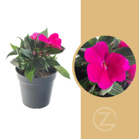 Netýkavka balzamína, Impatiens New Guinea, růžová, průměr květináče 10 - 12 cm