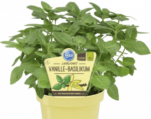 Ocimum americanum - Vanilková bazalka