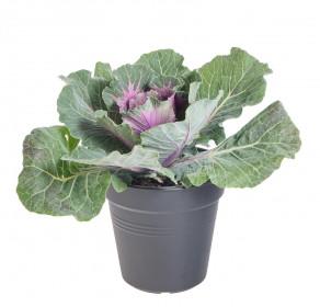Okrasná kapusta, Brassica hladký list, fialová, průměr květináče 12 cm