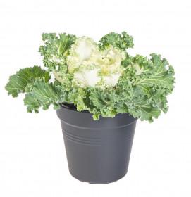 Okrasná kapusta, Brassica kudrnatá, bílá, průměr květináče 12 cm
